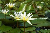 Waterlily in garden — Stock Photo