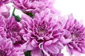 Violet chrysanthemum on white background — Stock Photo
