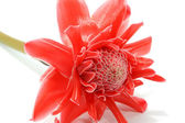 Beautiful tropical red ginger flower on isolate white background — Foto Stock
