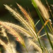 Flower grass impact sunlight. — Stock Photo #38701549