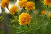 Cor amarela da flor de calêndula — Foto Stock
