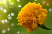 Yellow color of Marigold flower — Stock Photo