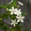 White flowers in a garden — Stock Photo