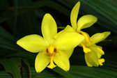 Yellow Ground orchid — Stock Photo