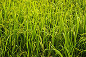 Rice field green grass landscape background — Stock Photo
