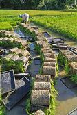 Thai farmer planting Sapling rice. — Stock Photo