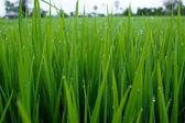 Paddy rice field. — Stock Photo