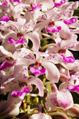 White and pink orchid of Rhynchostylis gigantea (Lindl.) Ridl. — Stok fotoğraf