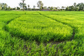 Sapling rice in Farm at Southern of Thailand. — Stock Photo