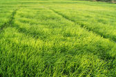 Stromek rýže ve farmě v jižní thajsko. — Stock fotografie