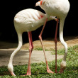 Stock Photo: White flamingo