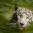 Stock Photo: White Royal Bengal tiger swimming