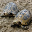 Land turtle moving slowly on land — Stock Photo #39486487
