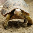 Land turtle moving slowly on land — Stock Photo #39486493
