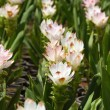 Stock Photo: White siam tulips blooming.