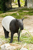 Malayan Tapir Eating — Stock Photo