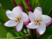 Frangipani tropical flowers, green lefs — Stockfoto