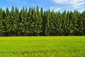 Pine forest under deep blue sky — Stock Photo