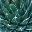 Stock Photo: Close up of hen and chick or crassulaceae succulent flower