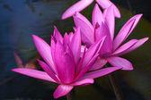 Beautiful pink waterlily or lotus flower. — Stock Photo
