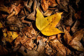 Dry maple leaves fall on the ground in autumn. — Stok fotoğraf