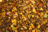 Dry maple leaves fall on the ground in autumn. — Stock Photo