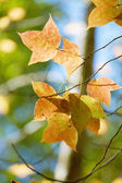 Yellow maple leaves in the autumn. — Stok fotoğraf