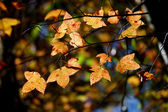 Folhas de plátano amarela no outono. — Fotografia Stock