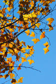 Yellow maple leaves in the autumn. — Stock Photo