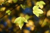Foglie di acero giallo in autunno. — Foto Stock