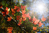 Red maple leaves in the autumn. — Stock Photo