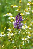 Fiore di camomilla nella natura — Foto Stock