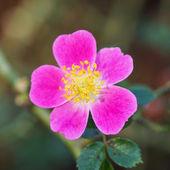 Baby rose name summer sunrise — Foto Stock