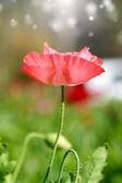 Vallmo blommor i trädgården — Stockfoto