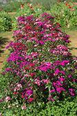 Purple flower in the garden — Stock Photo