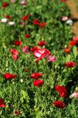 Poppy flowers in the garden — Stock Photo