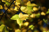 Yellow maple leaves in the autumn. — Foto Stock