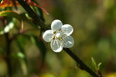 Chinese plum flowers blooming in the park — Stock Photo