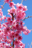 "Pink Flower ""Wild Himalayan Cherry"". — Stock Photo"