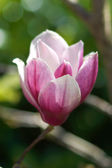 Pink magnolia flower — Stock Photo