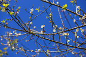 Chinese plum tree, Japanese apricot tree. — Stock Photo