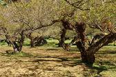 çin erik ağacı, japon kayısı ağacı. — Stok fotoğraf