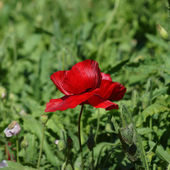 Poppy flowers in the garden — Stock Photo