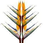 Райская птица завод в полном сезонные Блум — Стоковое фото #41180301