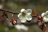 Parkta blooming Çin Erik çiçekleri — Stok fotoğraf