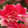 Stock Photo: Red poinsetti(Christmas Flower)