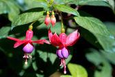 Beautiful Fuchsia flowers — Stock Photo