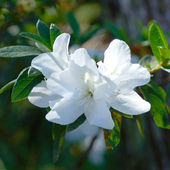 White azalea flowers in spring. — Stock Photo