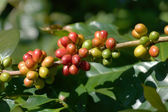 Fresh coffee beans on the tree — Stock Photo
