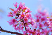 "Pink Flower ""Wild Himalayan Cherry"". — Stock Photo"